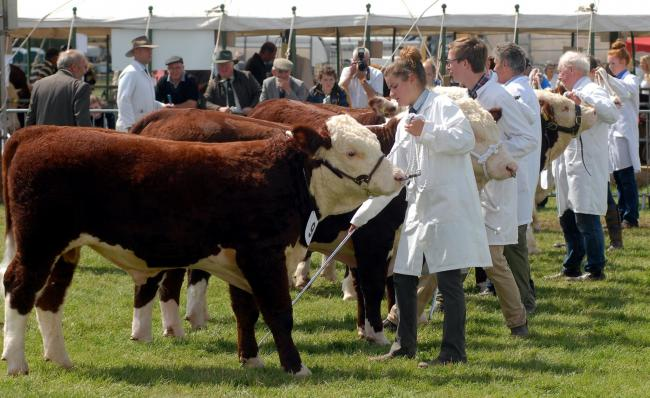 Judging of the Herefords'  at Tenbury Show...Photo: Andy Compton 1432_53012.