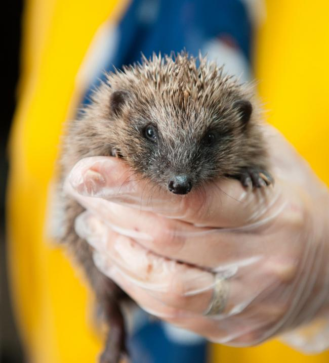 HELPED: This little Newent hedgehog is in good hands