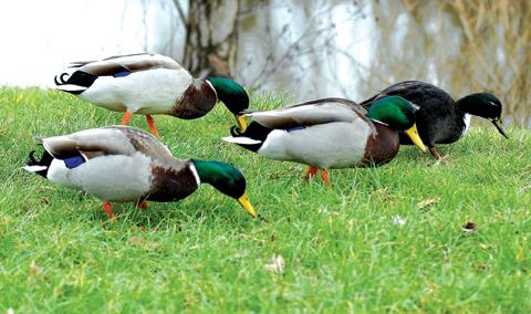 HUNGRY: Flood defences are affecting ducks at Upton