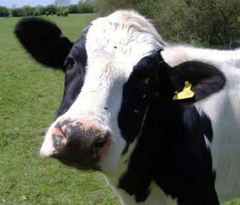 50 cows rescued in lorry drama