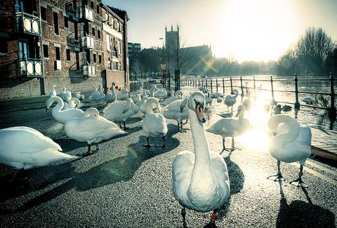 swans at worcester, flood