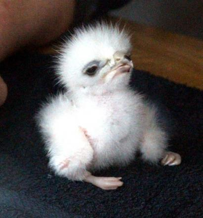 Chicks come early at Birds of Prey Centre