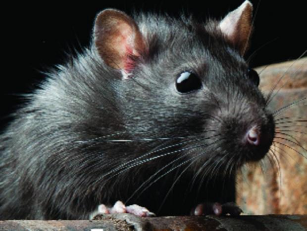 Rat sightings on the rise after rainfall