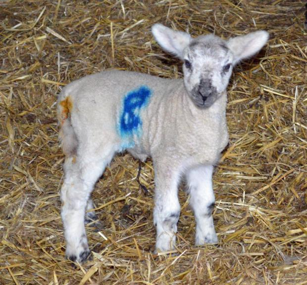 Vets ask people to keep dogs on leads as lambing season gets underway