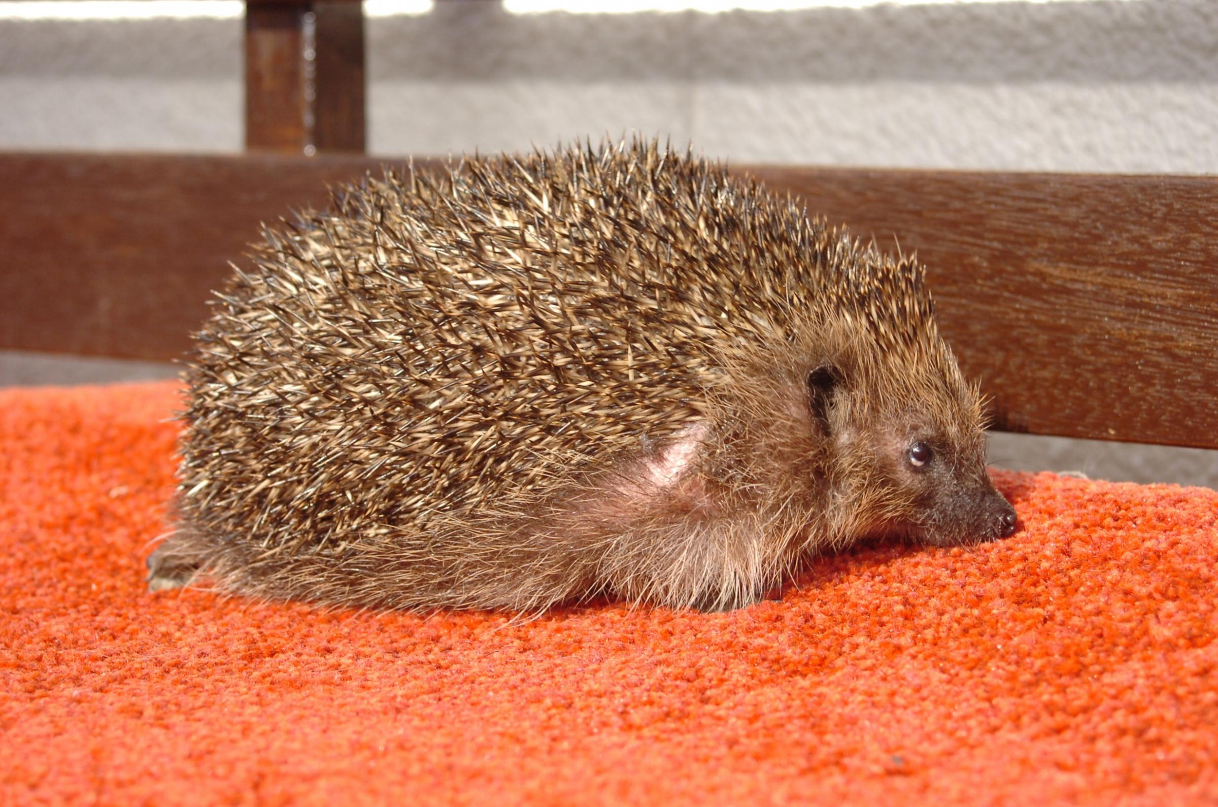 Tillington woman cares for prickly guests