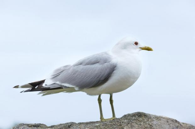 Seagulls are choosing Hereford over sunnier climes in Southern Europe. But numbers are reducing according to Herefordshire Council.