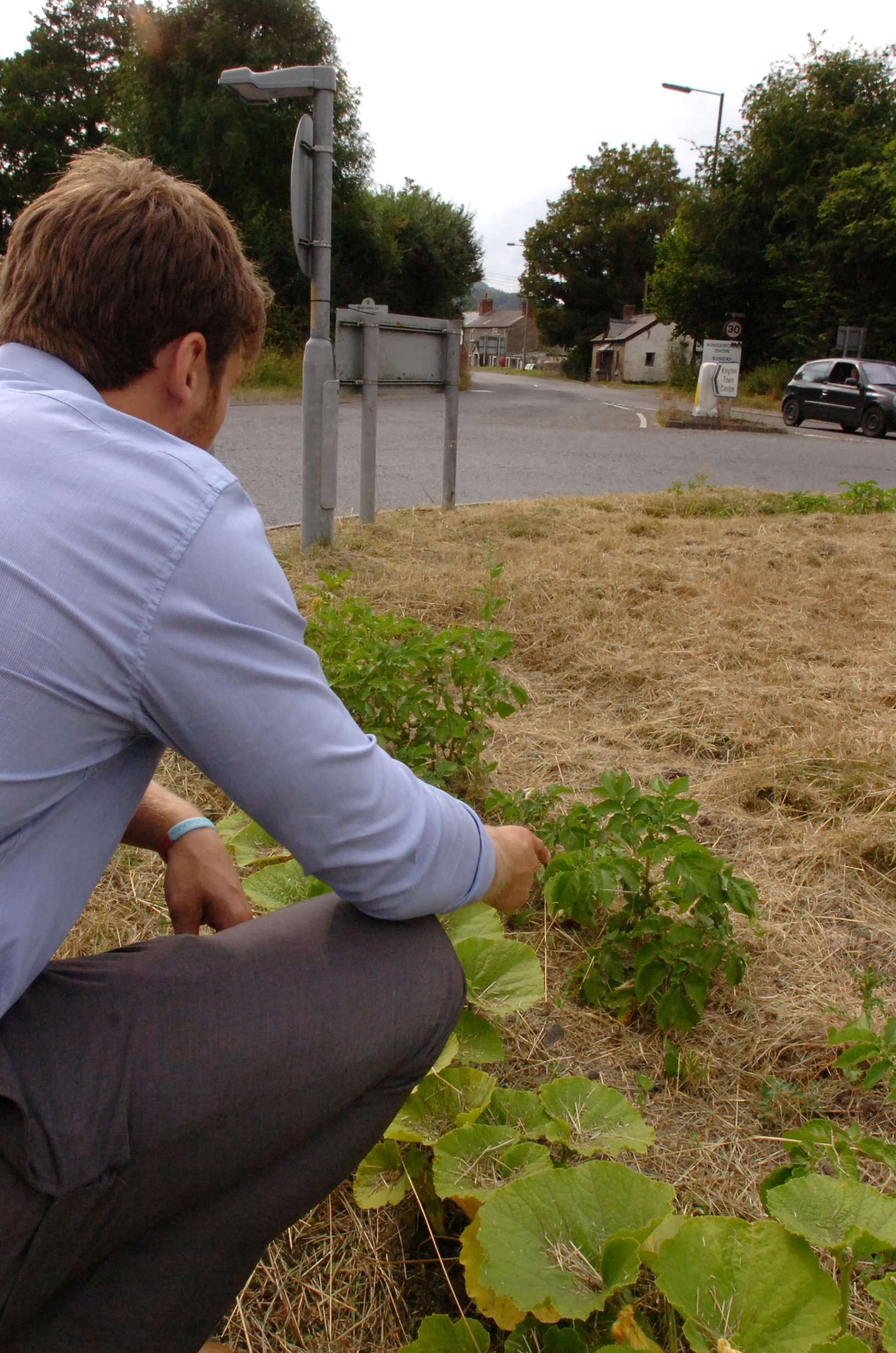 Pictures: Potatoes and pumpkin patch planted in Kington roundabout