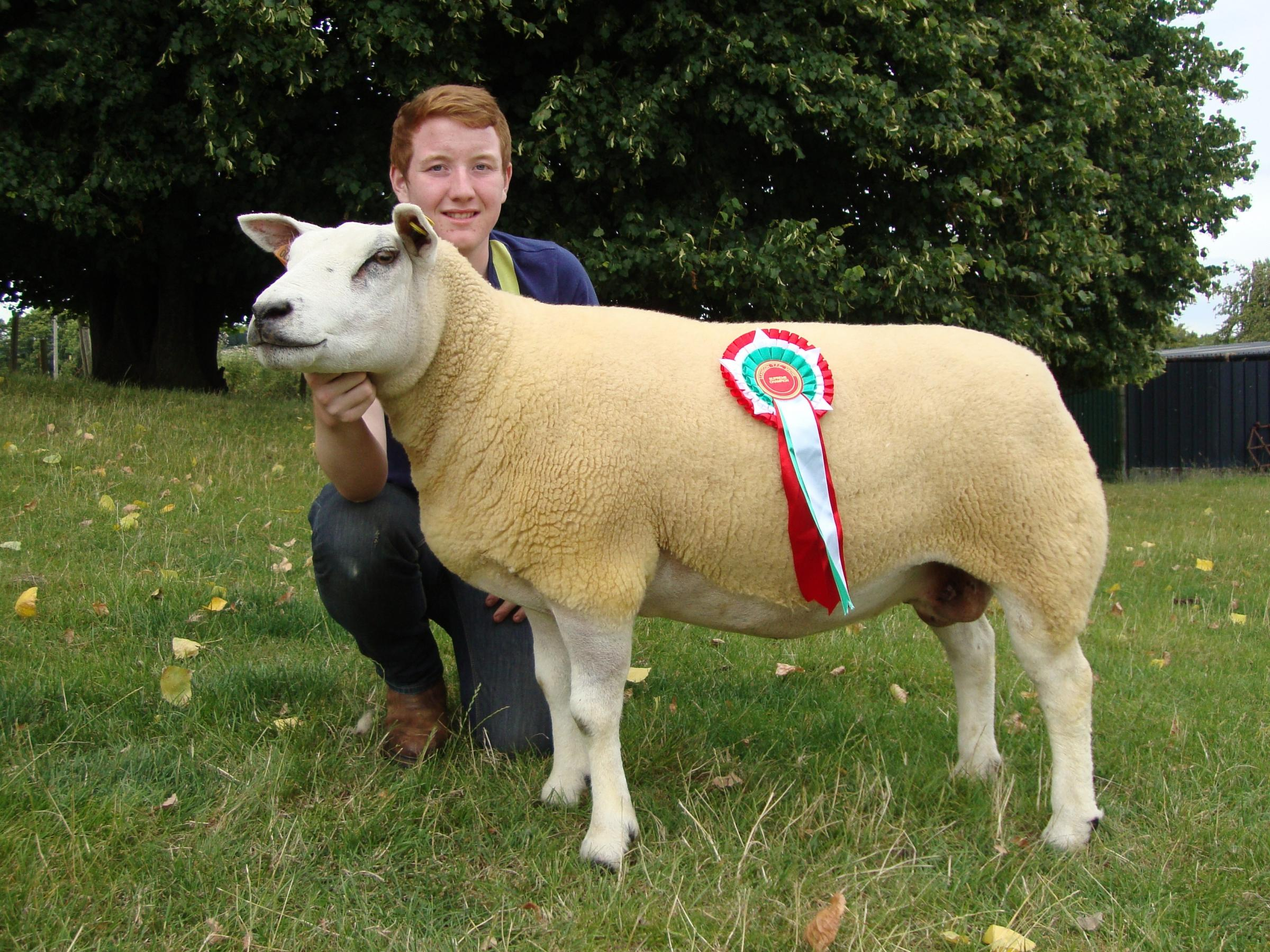 Champion sheep Llantho